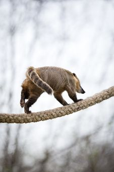 Very Cute White-nosed Coati Stock Photography