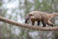 Free Very Cute White-nosed Coati Stock Images - 19073754