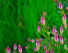 Free Magenta Flowers In A Field Of Green Royalty Free Stock Photo - 19075085