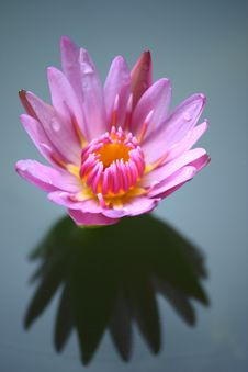 Free Beautiful Lotus With Reflection Stock Image - 19075111