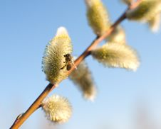 Free Beautiful Pussy Willow Flowers And A Bee Stock Image - 19078431