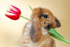 Free Little Rabbit With Tulips Stock Image - 19078471