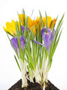 Free Blue And Yellow Crocus On White Background Stock Images - 19085494