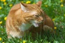 Free Cat Eating Grass Royalty Free Stock Photography - 19080747