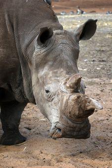 Free White Rhino Royalty Free Stock Photography - 19082317