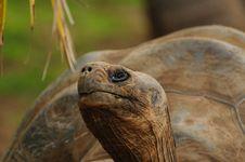 Free Aldabra Giant Tortoise (Aldabrachelys Gigantea) Stock Images - 19082934