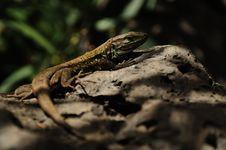 Free Tenerife Lizard (Gallotia Galloti Eisentrauti) Stock Image - 19083391
