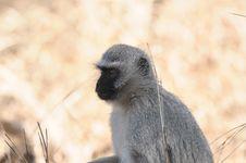 Free Vervet Monkey Royalty Free Stock Photos - 19084178