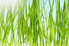 Free Wheat Grass Royalty Free Stock Photography - 19084597