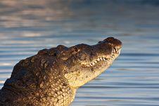 Free American Crocodyle Stock Photography - 19085262