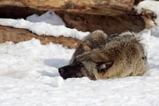 Resting Wolf Royalty Free Stock Photography
