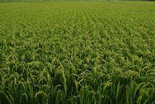 Free RICE FARM Stock Photo - 19087080