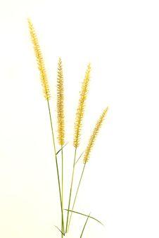 Free Closeup Of  Grass Flower Royalty Free Stock Photos - 19088318