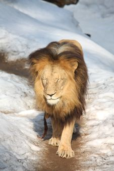 Free Lion Walking In Snow Stock Photography - 19089332