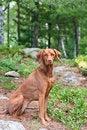 Free Female Vizsla Dog Sitting In The Woods Royalty Free Stock Photo - 19091415