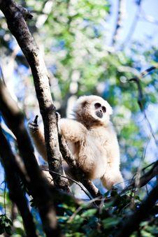 Free Gibbon Royalty Free Stock Photos - 19091148