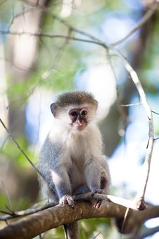 Free Blue Monkey Royalty Free Stock Photography - 19091517