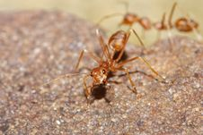 Free Red Ant Stock Image - 19091561