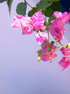 Free Pink Mediterranean Flower Royalty Free Stock Photos - 19091688