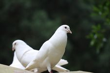 Free Pigeon Stock Photography - 19092512
