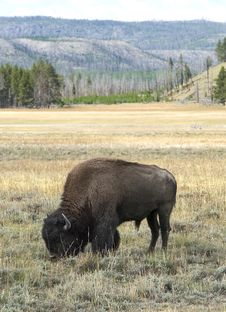 Free Grazing Bison Stock Photography - 19092862