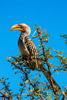 Free Southern Yellow-Billed Hornbill Stock Photography - 19094522
