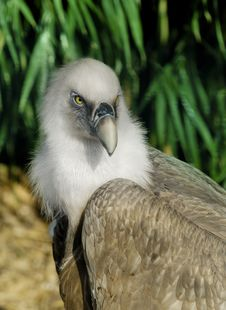 Free Griffin Vulture Stock Photos - 19095823
