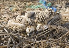 Free Two Osprey Chicks In A Nest Stock Photos - 19096533