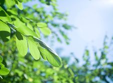 Free Green Fresh Leaves Stock Image - 19096741