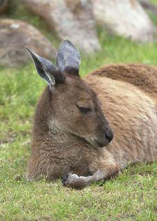 Free Resting Kangaroo Royalty Free Stock Photography - 19098207