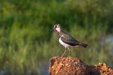 Free Bird The Lapwing Stock Images - 19098214