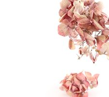Free Dried Pink Hortensia Royalty Free Stock Photo - 19098465