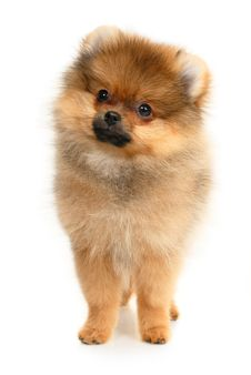 Free German Spitz Stock Photography - 19099072