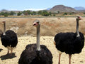 Free Three Ostriches Stock Photography - 1912102