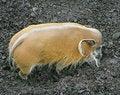 Free River Hog 1 Royalty Free Stock Photo - 1914305