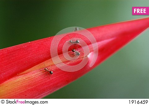 Free Red Leaf And Ants Royalty Free Stock Images - 1916459