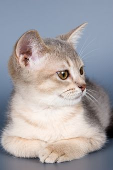 Kitten Of Abyssinian Breed Royalty Free Stock Photos