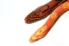 Free Corn Snake Stock Images - 1913974
