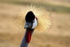 Free Grey Crowned Crane Royalty Free Stock Photography - 1914707