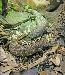 Free Rio Fuerte Beaded Lizard 1 Royalty Free Stock Images - 1914849