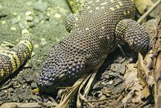 Free Rio Fuerte Beaded Lizard 2 Royalty Free Stock Photo - 1914865
