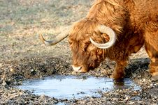 Free Drinking Scottish Highlander Stock Photos - 1915433