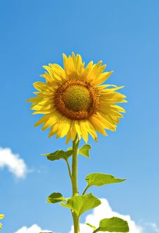 Free Yellow Sunflower Royalty Free Stock Images - 1915839