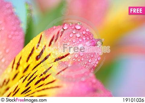 alstroemeria petals Stock Photo
