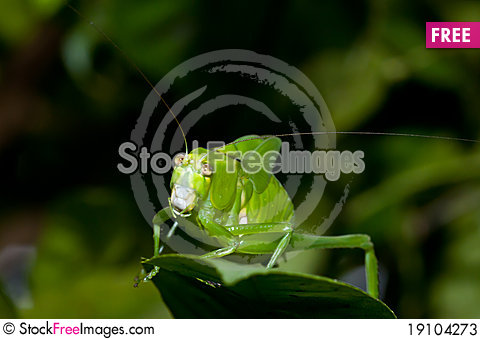 Green Cricket Stock Photo