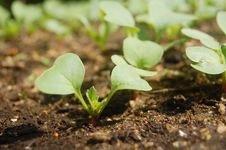 Free Cultivated Radish Royalty Free Stock Photography - 19100137