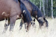 Free The Horses Grazed On A Meadow Royalty Free Stock Photo - 19100825
