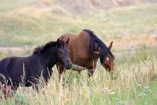 The Horse And Small Stallion In A Field Stock Photos