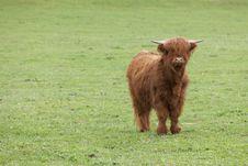 Free Scottish Highland Cattle Royalty Free Stock Photos - 19101378