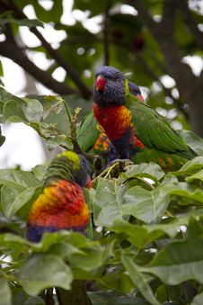 Free Rainbow Lorikeet Royalty Free Stock Image - 19101566